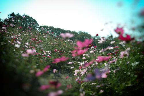 16_02_32№(036)コスモス.jpg